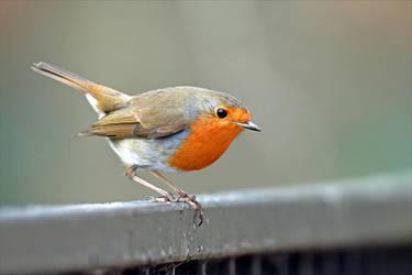 0740 Robin / Rouge-gorge