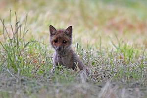4183 Young fox