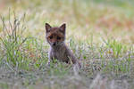 4183 Young fox by RealMantis