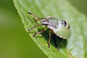 1713 Green beetle