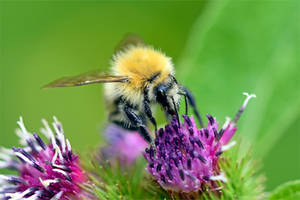 0772 Pollen harvest