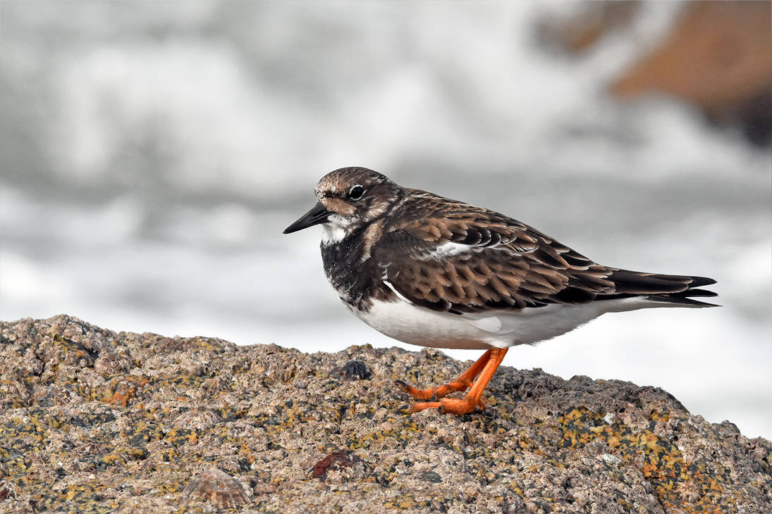 5678 Ruddy Turnstone / Tournepierre a collier by RealMantis