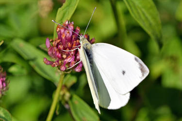 1552 White butterfly by RealMantis