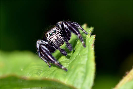 0495 Jumping Spider
