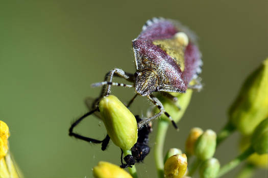 9761 Mottled shield bug - Punaise nebuleuse