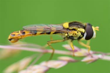 0547 Dronefly