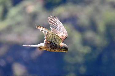0359 Eurasian Kestrel - Faucon crecerelle by RealMantis