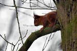 0665 Red squirrel by RealMantis