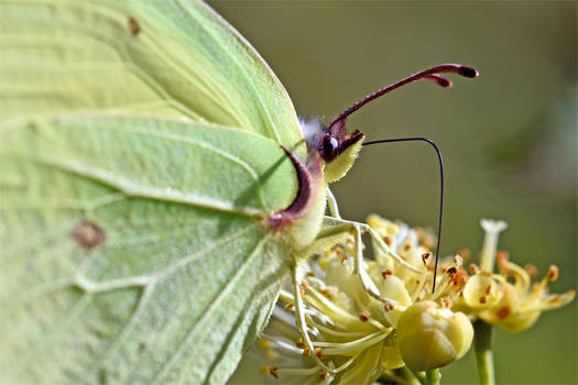 1604 Common Brimstone - Citron