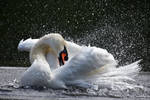 0627 The frolics of the swan