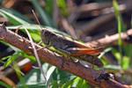 1058 Grasshopper