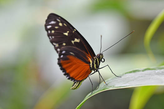2233 Butterfly - Brush-footed Butterfly