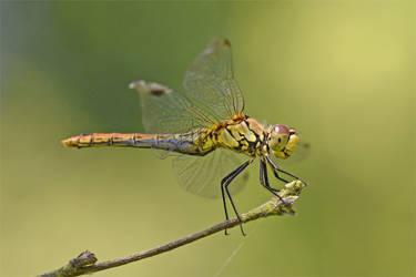 0498 Dragonfly