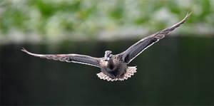 8210 Mallard in flight