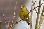 5362 Greenfinch - Verdier