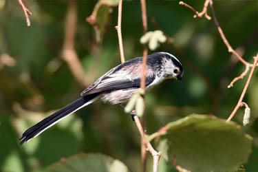 1045 Long-tailed tit by RealMantis