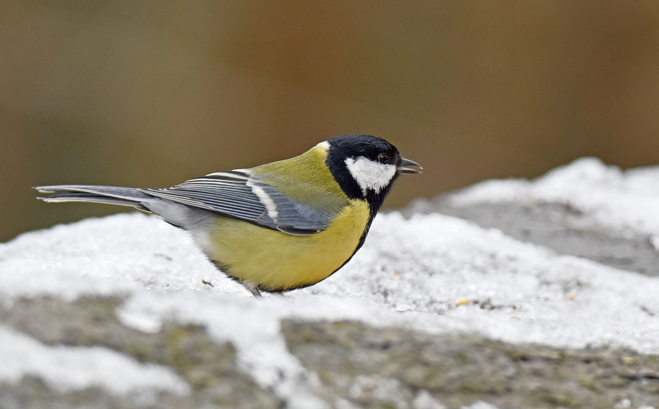 2385 Great Tit in the snow