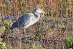 3661 Grey Heron near the river