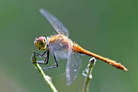 0534 Dragonfly