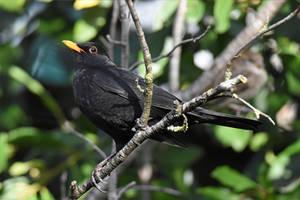 0133 Blackbird - Merle