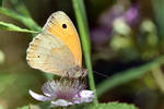 1639 Butterfly - Meadow brown by RealMantis