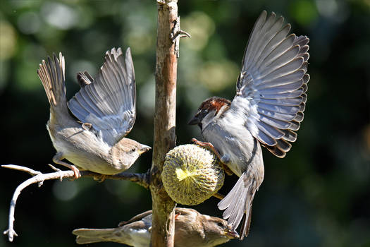 1365 Sparrows in action