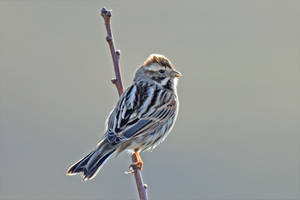 0162 Reed Bunting / Bruant des roseaux