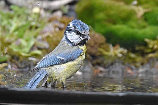 2030 Blue Tit at bath