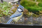 2030 Blue Tit at bath by RealMantis