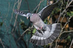 4611 Common wood pigeon in flight by RealMantis
