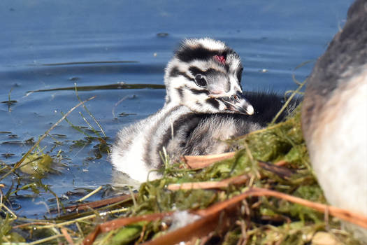 7984 Young Great Crested Grebe