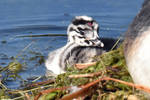 7984 Young Great Crested Grebe by RealMantis