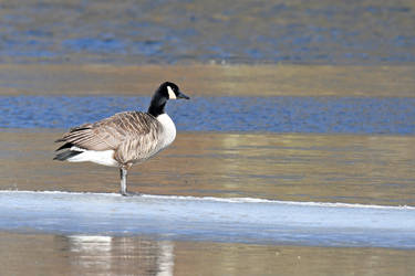 1307 Canada Goose at the snowy pond by RealMantis