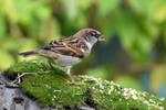 0378 Sparrow - Moineau by RealMantis