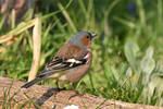 1053 Chaffinch by RealMantis