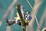 5399 Blue Tit drying by RealMantis