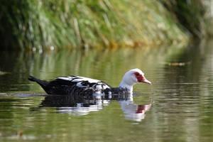 2593 Muscovy duck - Canard de Barbarie
