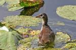 0155 Juvenile Moorhen - Poule d'eau juvenile by RealMantis