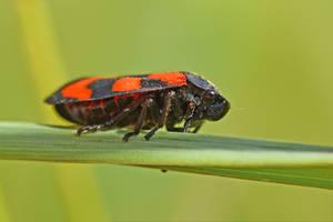 2676 Leafhopper