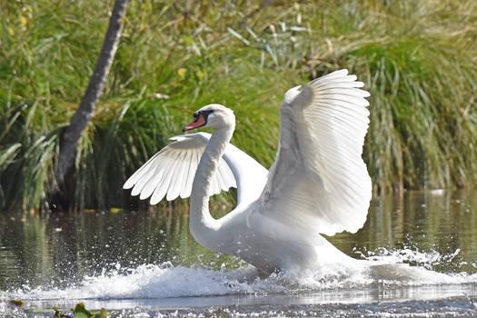 1136 Splashdown of a Swan