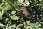 0138 Female Blackbird - Merlette