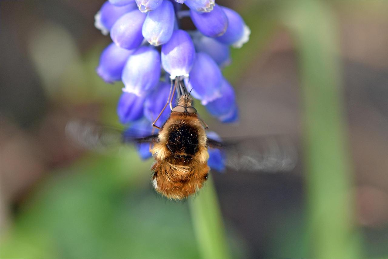 7056 Bee Fly (Bombylius)