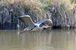 5254 Grey Heron in flight by RealMantis