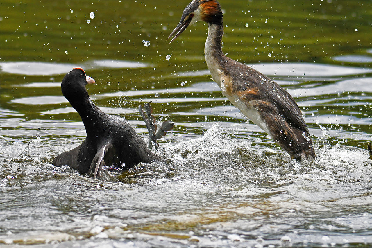 9131 Great Crested Grebe against Coot