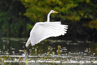 2368 Great Egret - Take off by RealMantis