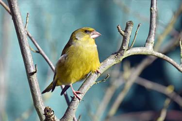 3786 Greenfinch - Verdier