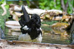 8003 Magpie in the water by RealMantis