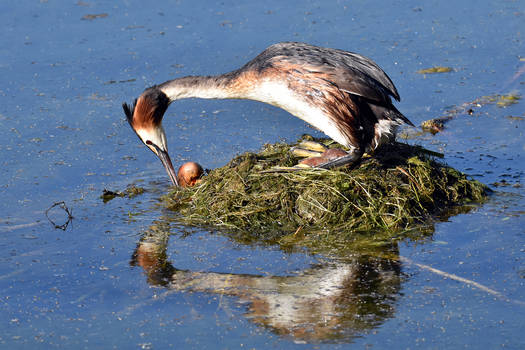 5606 Great Crested Grebe in the nest