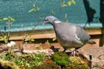 3228 Common wood pigeon - Pigeon ramier