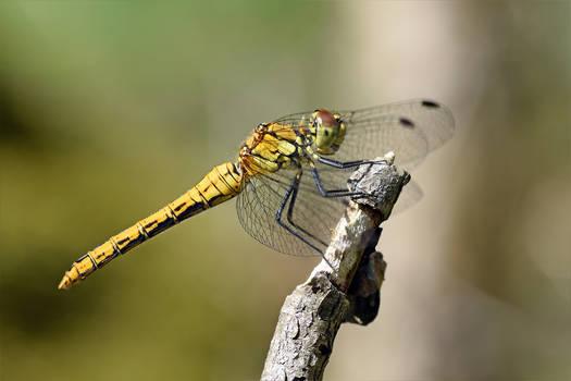 1044 Dragonfly